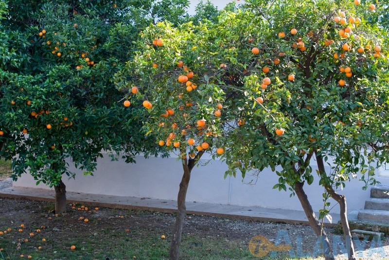 Аланья, Турция фото города. Апельсиновые деревья.