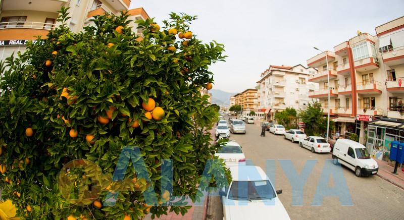 Аланья, Турция. Фото. Апельсиновые деревья.