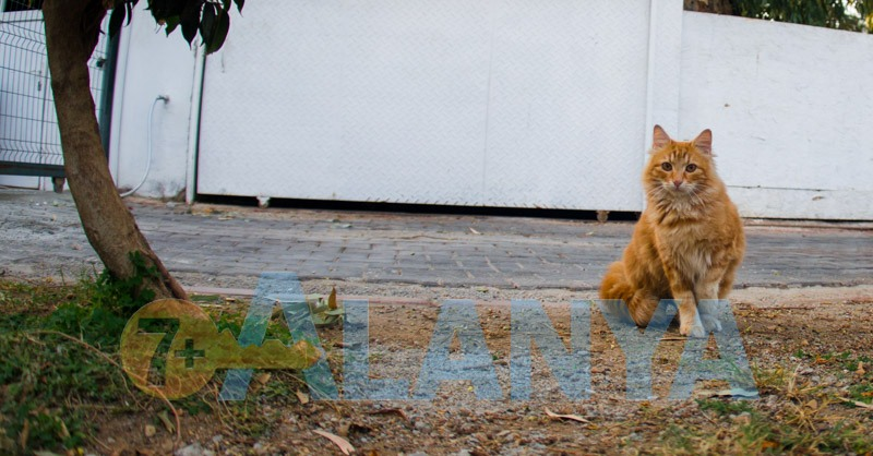 Аланья, Турция. Фото. Рыжий кот.