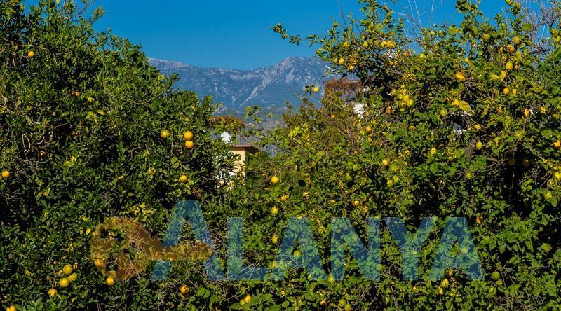 Аланья, Турция. Фото ноябрь. Апельсиновые сады в Аланье.